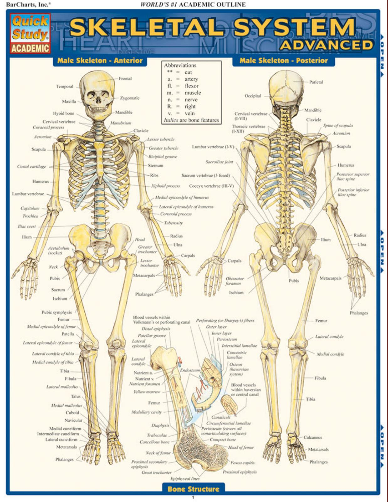 SKELETAL SYSTEM  ADVANCED