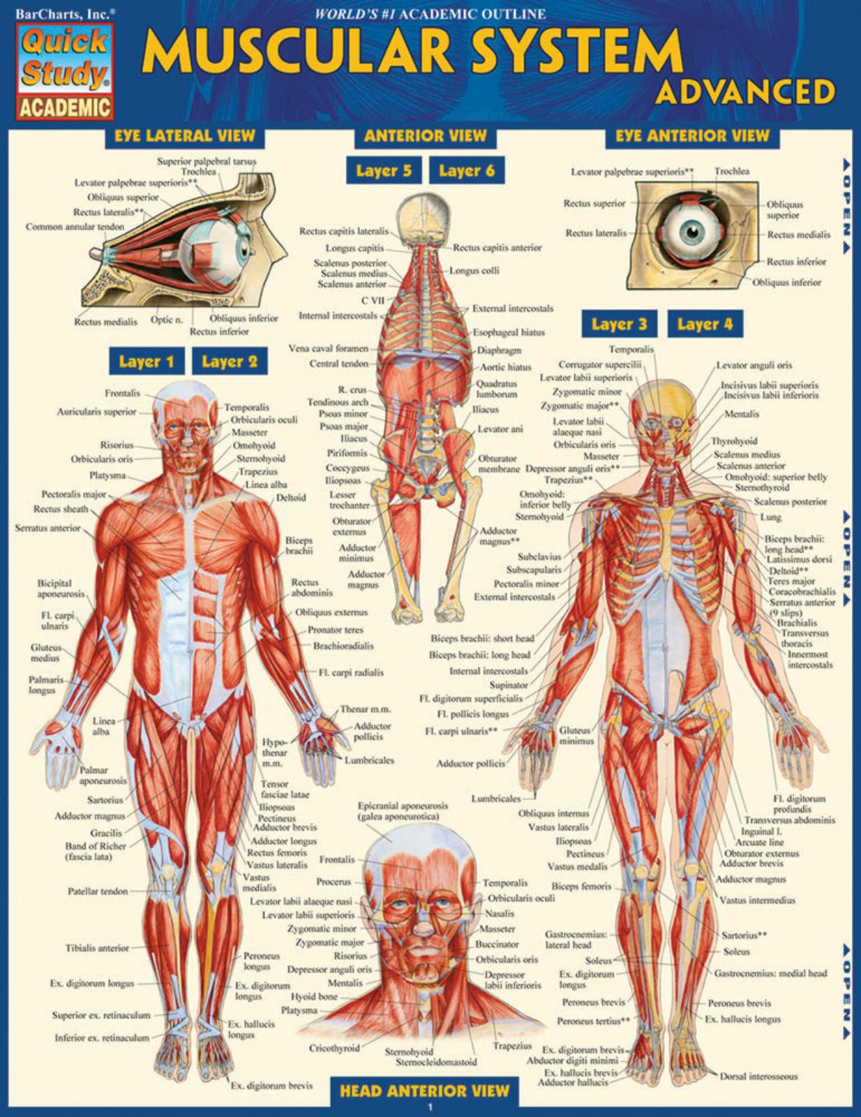 MUSCULAR SYSTEM ADVANCED