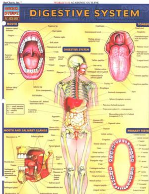 1572225254 Digestive System (Chart)