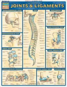 1572226846 Joints & Ligaments (Chart)